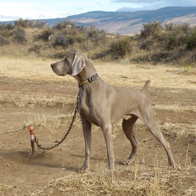 Weimaraner Stacked - Vinnie
